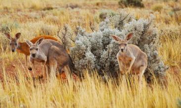 Gawler Ranges Safari SA AU