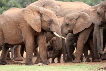 Elefanten Addo Nationalpark Südafrika