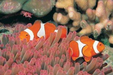 #greatbarrierreef #tauchen #schorcheln #dive #snorkel #queensland #australien #blueskytravel #clownfish #anemonenfisch