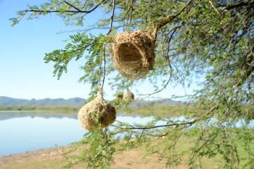 Webervögel Südafrika ZA