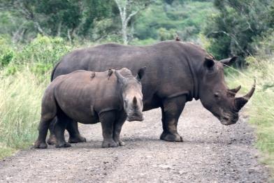Nashorn Hluhluwe-Umfolizi Nationalpark Südafrika
