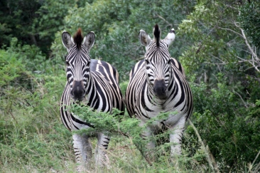 #Zebra #Südafrika #Reisen #BlueSkyTravel #SouthAfrica #Nationalpark #Safari