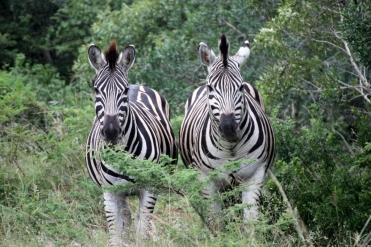 #Zebra #Hluhluwe-Imfolozi #Wildlife #Abenteuer #Safari #Südafrika #BlueSkyTravel #KwazuluNatal #HilltopRestcamp #blueskytravel
