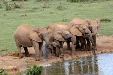 Elefanten Addo Nationalpark Südafrika ZA