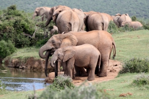 #Elefant #Elefanten #AddoNationalpark #Elephant #Südafrika #Reisen #BlueSkyTravel #Safari #Abenteuer