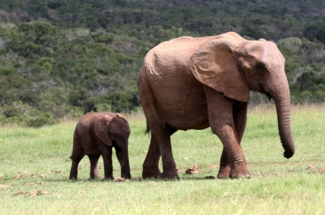 #blueskytravel #reisespezialist #kapstadt #südafrika #addonationalpark #elefanten