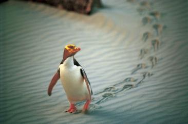 Pinguin Neuseeland