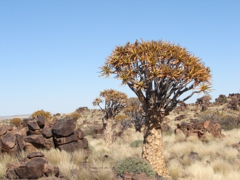 Köcherbaum Wald Namibia