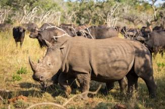 Nashorn Südafrika