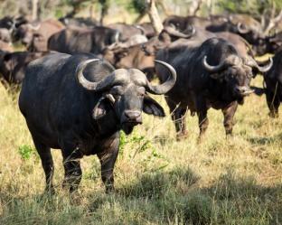#südafrika #blueskytravel #krugerpark #safari #wasserbüffel #big5