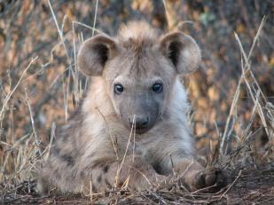 White Elephant Safari Lodge Hyäne ZA Südafrika