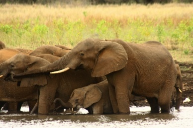 White Elephant Safari Lodge Elefant Südafrika ZA