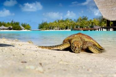 Turtle Tahiti