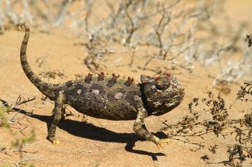 Chamäleon Namibia