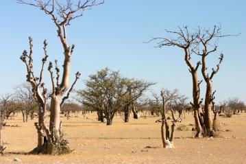 Geisterbaumwlad Etosha Nationalpark Namibia