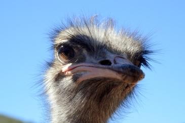 Strauß Oudtshoorn Südafrika