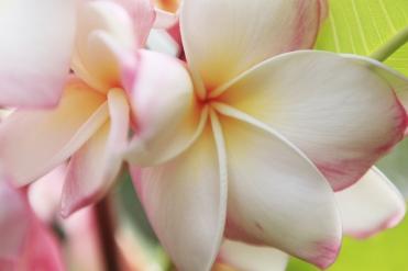 Blüten Tahiti