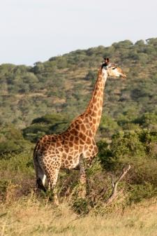 Giraffe Hluhluwe-Umfolozi Nationalpark Südafrika