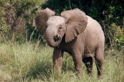 Elefant Hluhluwe-Umfolozi Nationalpark Südafrika