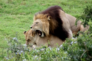 Löwen Addo Nationalpark Südafrika