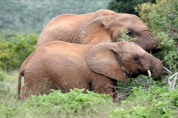 Elefant Addo Nationalpark Südafrika