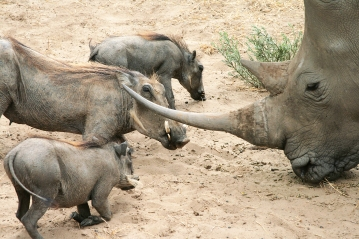 Nahorn Etoscha Nationalpark Namibia