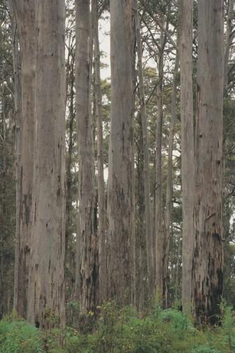 #karritree #margretriver #westaustralien #australien #blueskytravel