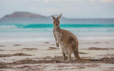 #capelegrandnationalpark #esperance #twopeoplebay #ngigilgicave #margretriver #lakecave #margretriver #williambaynationalpark #elephantrocks #denmark #westernaustralia #australien #blueskytravel #känguru #kangoroo