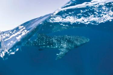 Walhai Ningaloo Reef WA AU