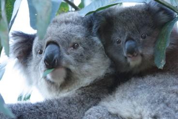 #australien #blueskytravel #reisespezialist #victoria #philipisland #koala