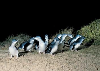 #australien #blueskytravel #reisespezialist #victoria #philipisland #pinguine #penguinparade