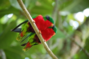 Rimatara Lorekeet Atiu Cook Inseln