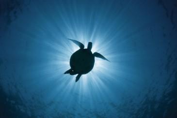 Turtle Heron Unterwasser Riff Reef AU QLD