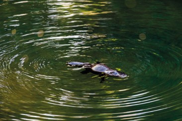 Platypus Eungella Nationalpark AU QLD