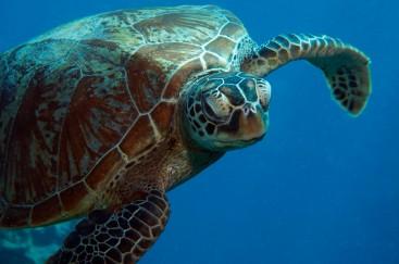 Unterwasser Riff Reef AU QLD Turtle