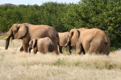 Elefantenherde im Damaraland Namibia