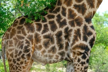 Header Giraffe im Etosha Nationalpark Namibia