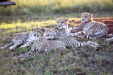 Leoparden ZA