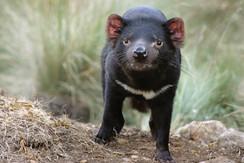 #Australia #australien #tasmania # blueskytravel #tasmanian devil