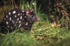 #Australia #australien #tasmania # blueskytravel #spottedtailquoll