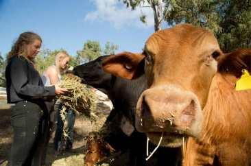 loka-aussie-cattle-station-cow