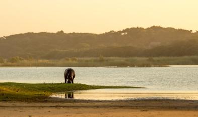 Flusspferd Südafrika Tier