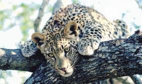 Leopard Tier