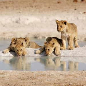 Etosha Waterhole Löwen Namibia