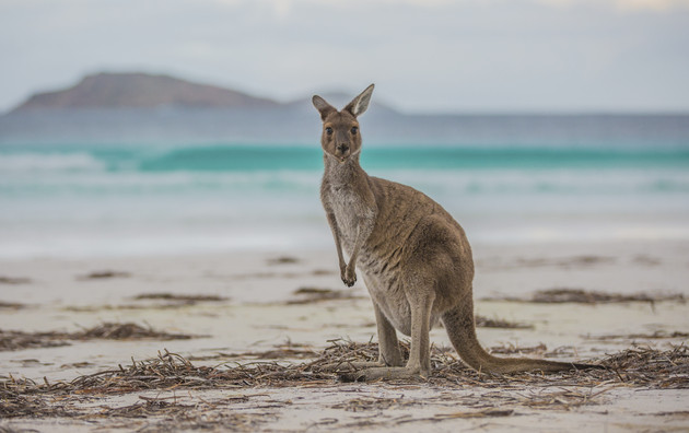 Känguru an der Lucky Bay Cape Le Grand Nationalpark Esperance Westaustralien WA