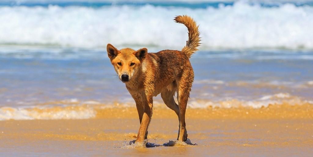 Dingo Fraser Island Queensland