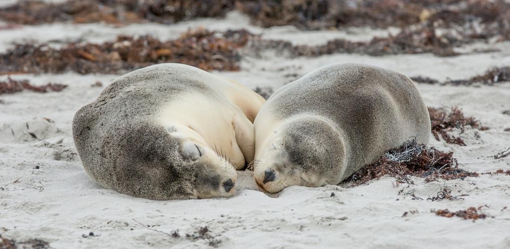 Schlafende Seelöwen am Strand der Seal Bay Kangaroo Island Südaustralien