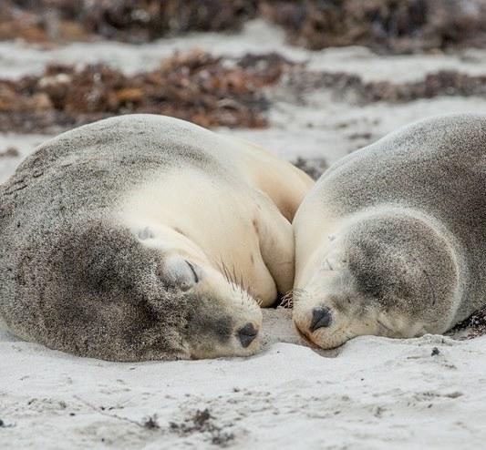Schlafende Seelöwen Seal Kangaroo Island Südaustralien SA Australien