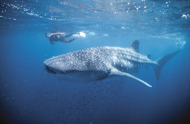 Schnorcheln mit Walhaien Exmouth Westaustralien WA