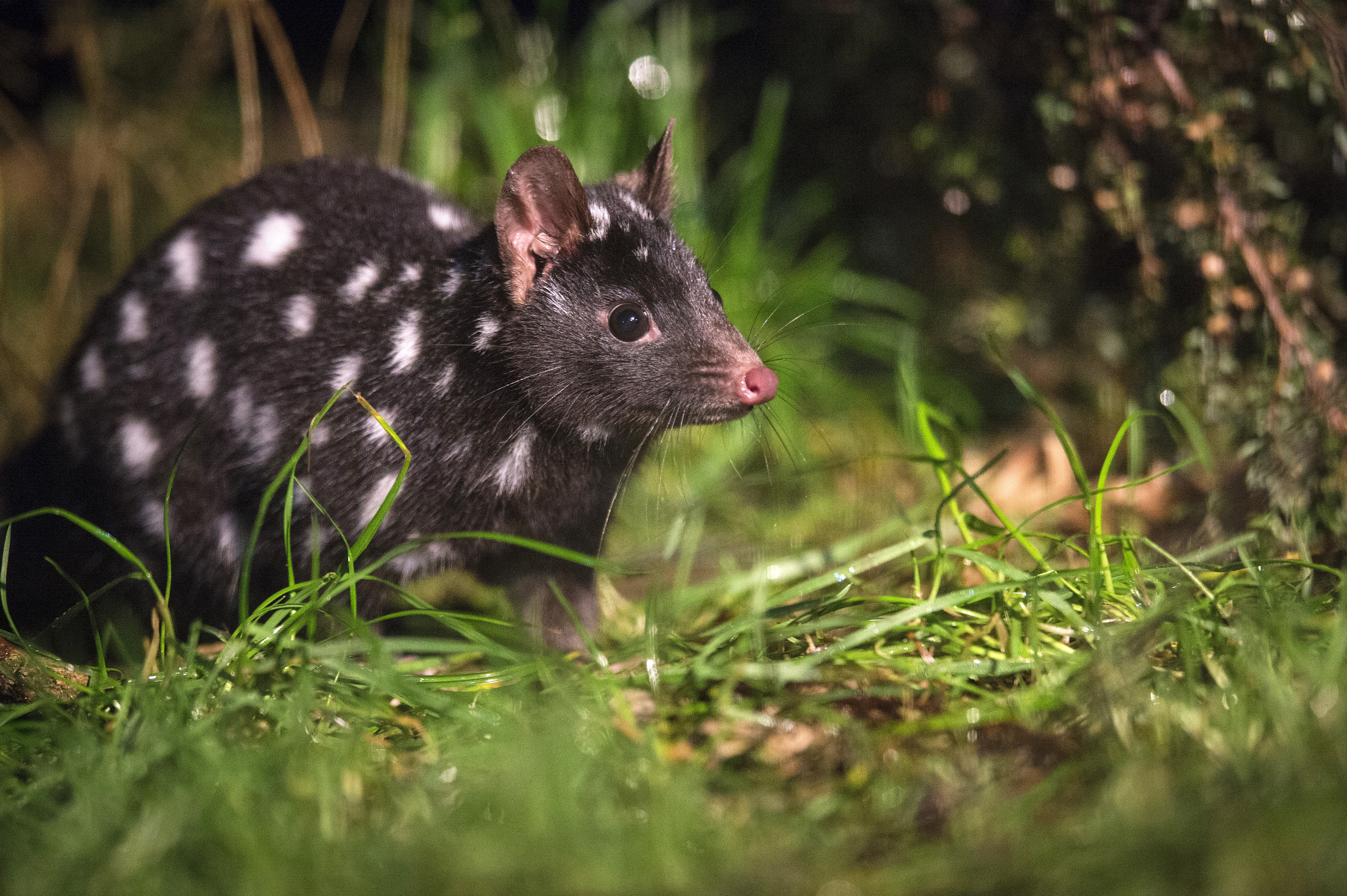 Spotted-tail Quoll Tasmanien